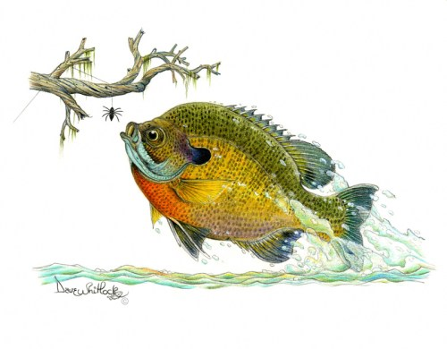 Blue Gill in Flight
