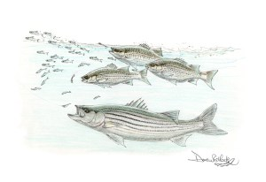 Stripers and Hybrids