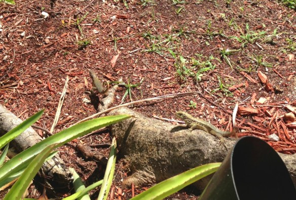 Curly-tailed lizards scurrying about.