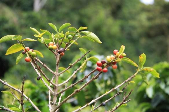 Coffee plants in Finca Lerida.