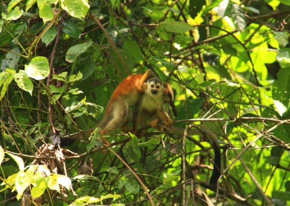 And a squirrel monkey baby.