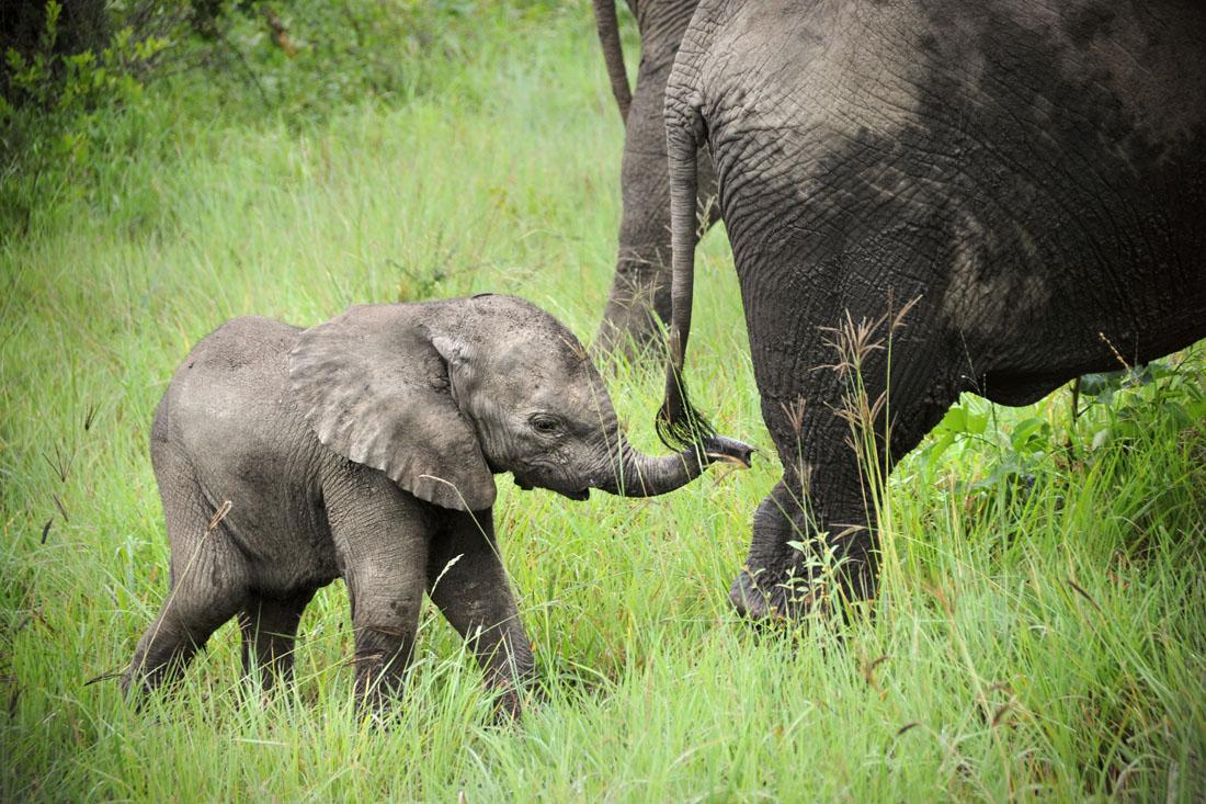 Cute Sleeping Babies Wallpapers Baby Elephant Walk David Lazar