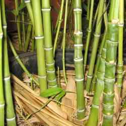 Small Of Bamboo Turning Yellow