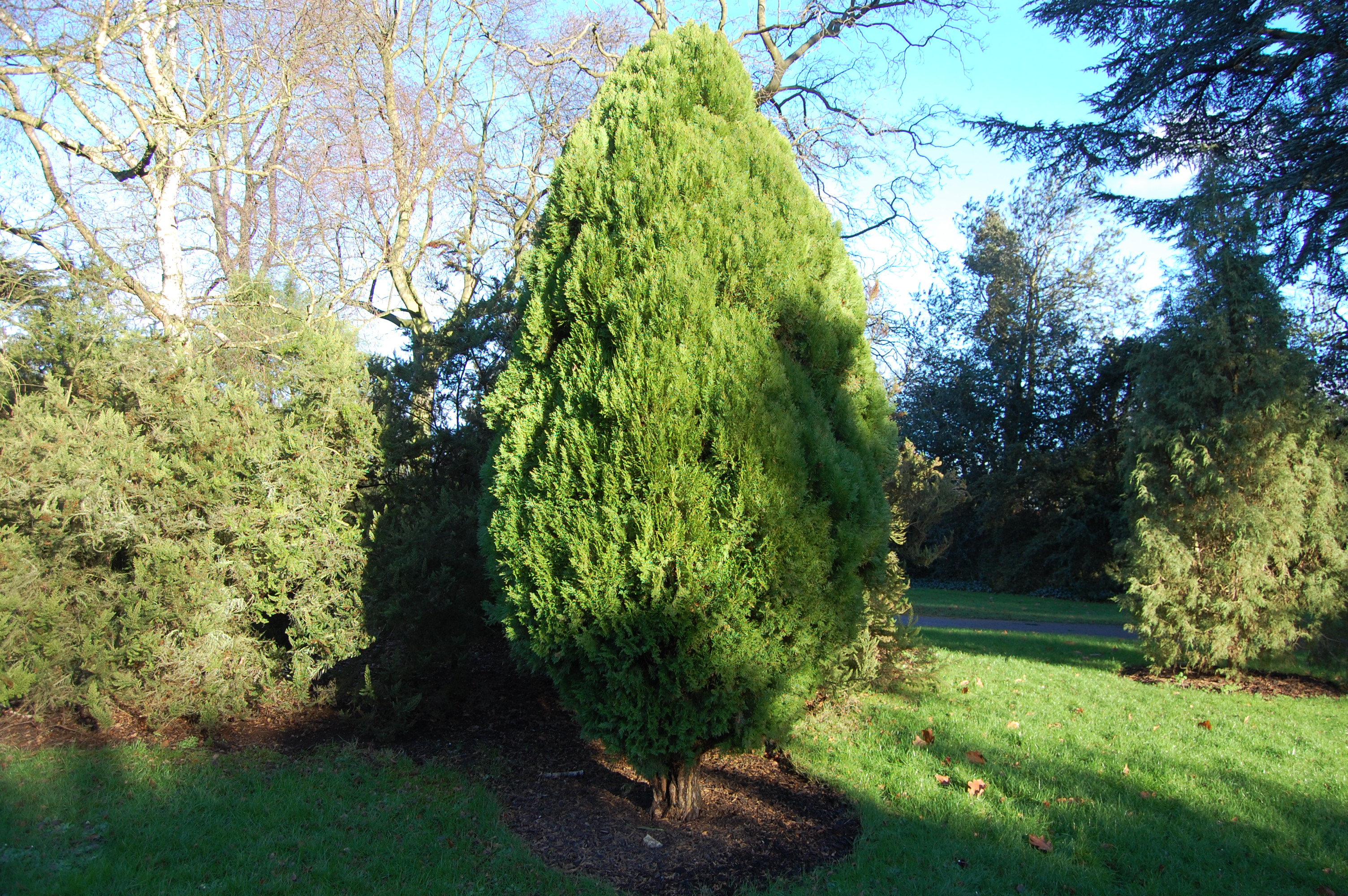 Thuja Rheingold Thuja Occidentalis Rheingold Landscape Architect S Pages