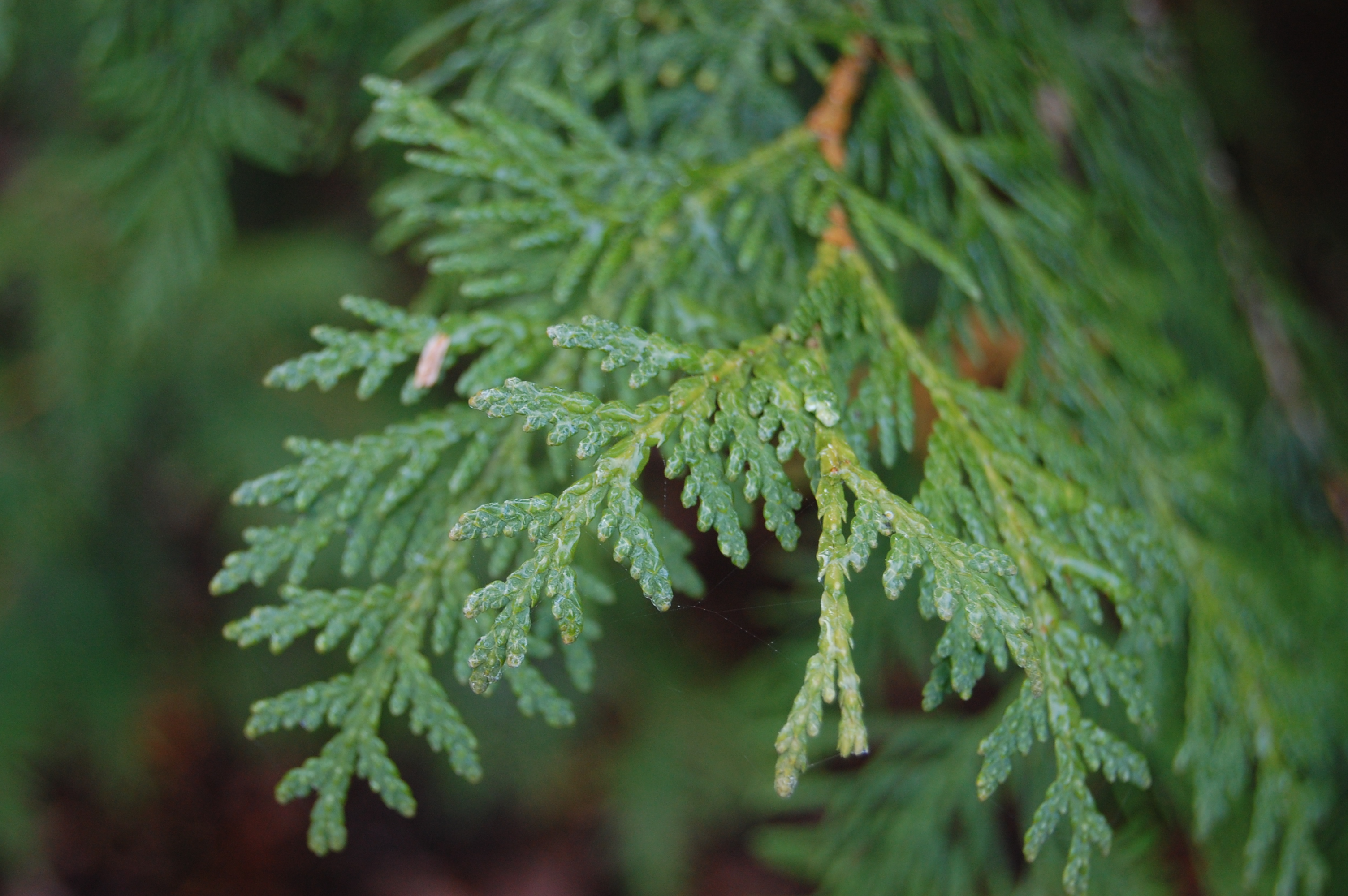 Thuja Occidentalis Thuja Occidentalis Landscape Architect 39s Pages
