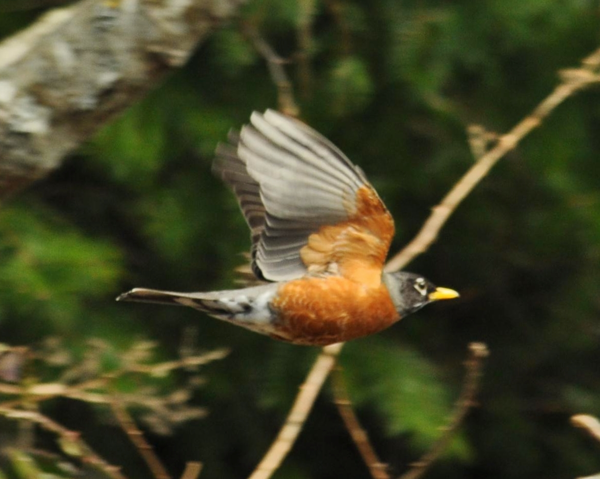 Robin in flight (kp)