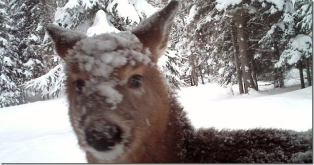 Doe with snow on face