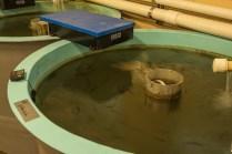 Fish Tank at Hatchery