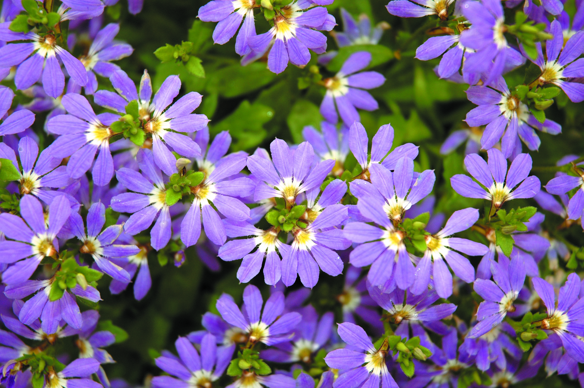 Blue Flowers Australia Scaevola Aussie Crawl Common Name Blue Fan Flowers