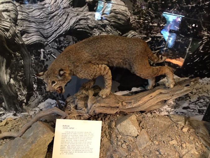 Mt Baldy visitor center bobcat