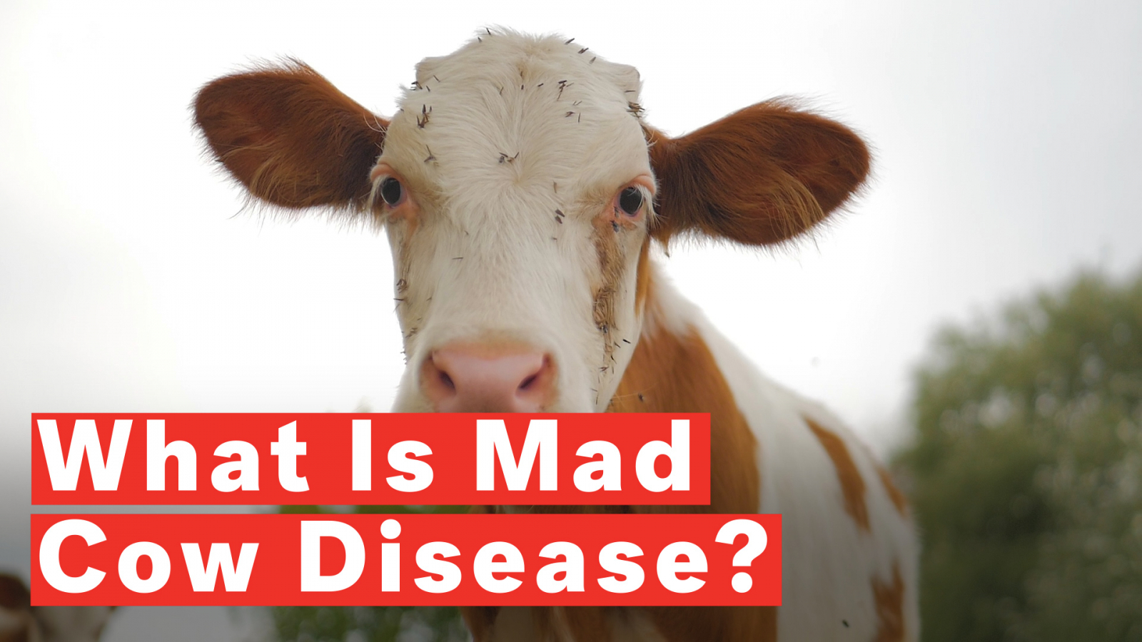 Origin Of Mad Cow Disease May Have Been Identified By Scientists