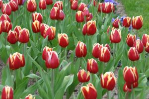 spring-tulips-for-may-day