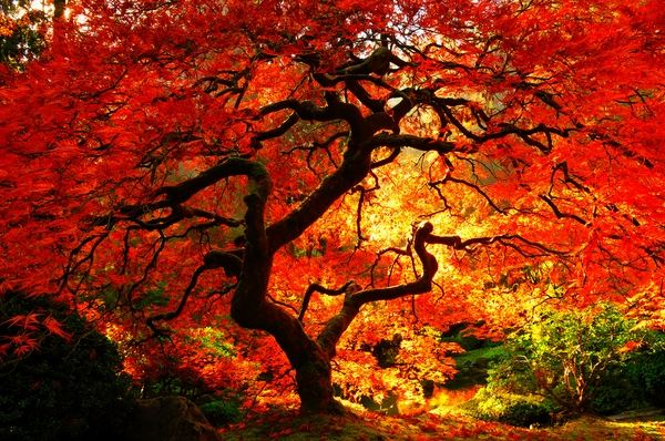 Portland Oregon Fall Had Wallpaper Japanese Maple Varieties Spectacular Trees For Your Garden