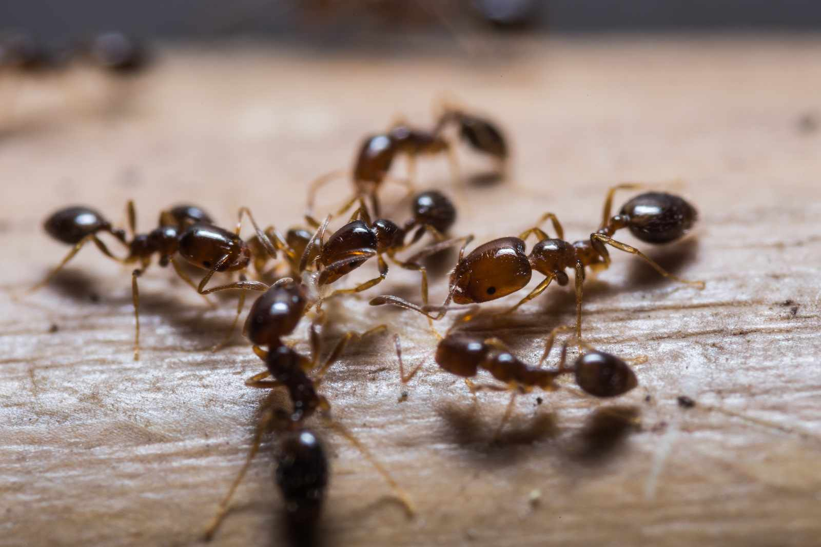How to get rid of ants in the kitchen  non