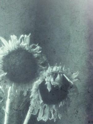 dyingSunflowers