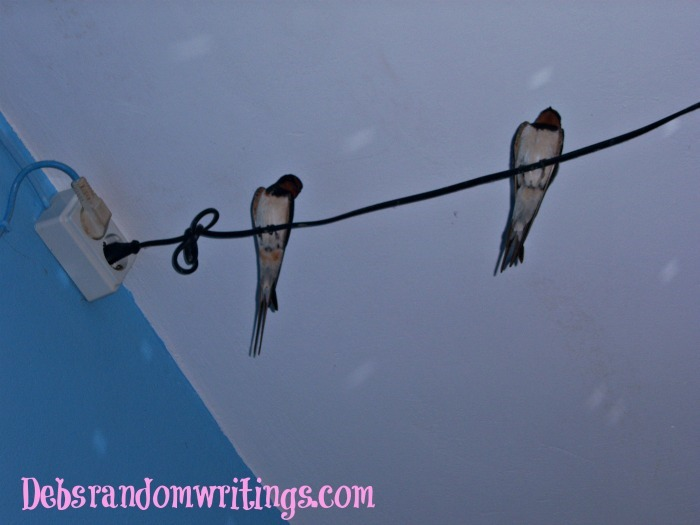 Swallows roosting inside