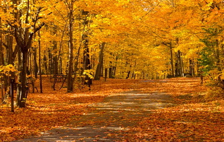 Fall Fox Wallpaper Climate Deciduous Forest