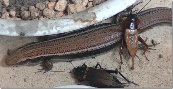 トカゲとコオロギの雑居状態