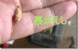 チャイロゴミムシダマシムシの蛹から孵化1