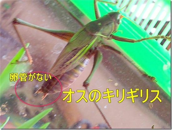 キリギリスのオスは卵管がない