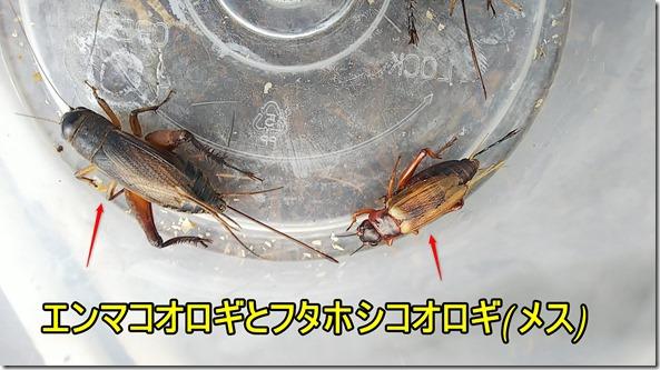 エンマコオロギとフタホシコオロギ(メス)