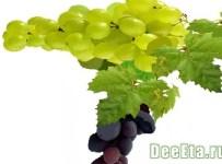vinograd-dieta