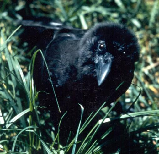 Corvus_hawaiiensis_in_grass