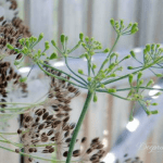 Health Benefits of Dill, Attracting Butterflies & Saving Seed NO text