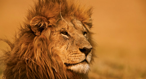 Wallpapers For Laptop Full Screen 3d Can We Save Lions Defenders Of Wildlife