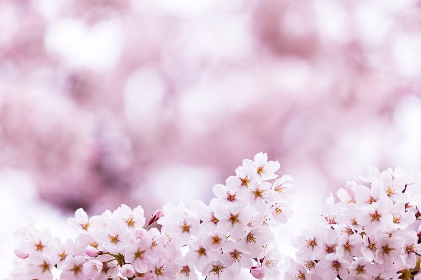 Definición de Flor de Cerezo - Qué es y Concepto