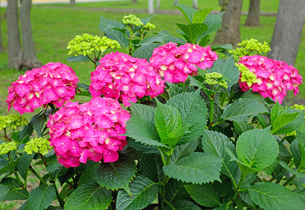 Hydrangea Flower Color Hydrangea 'glowing Embers' Macrophylla - Degroot