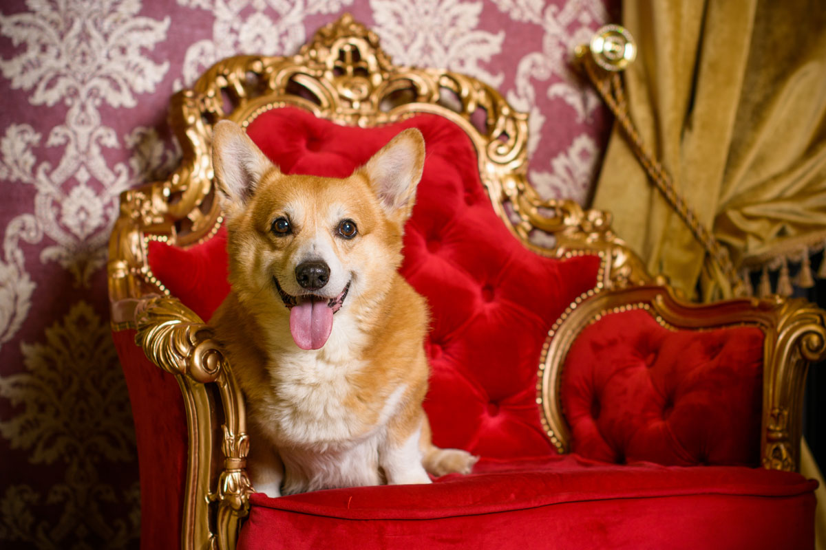 Sessel Queen Elizabeth Queen Elizabeth Trauert Um Hund Willow