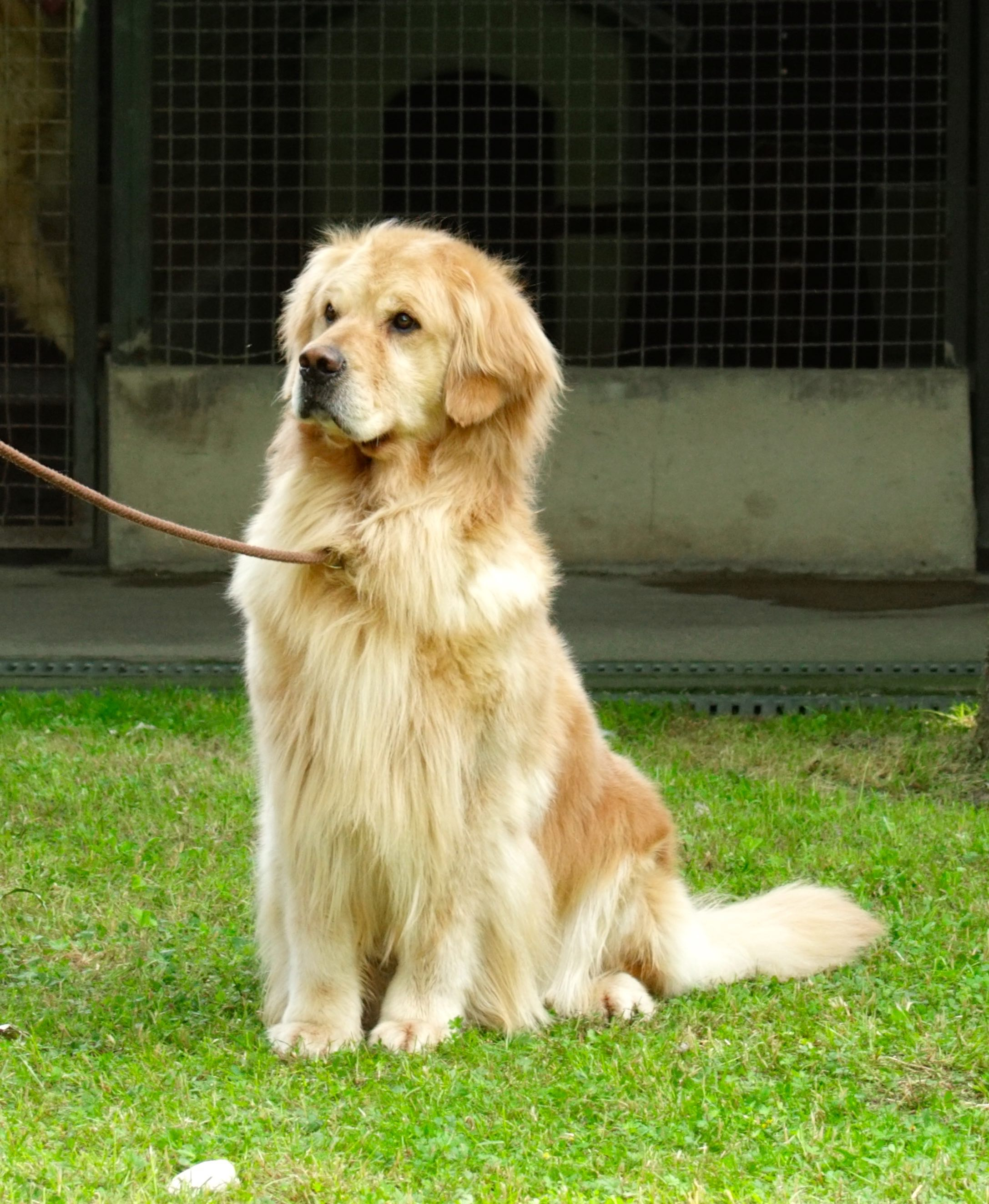 Libro Golden Retriever Dgo Il Tipico Golden Retriever Delle Grandi Ombre