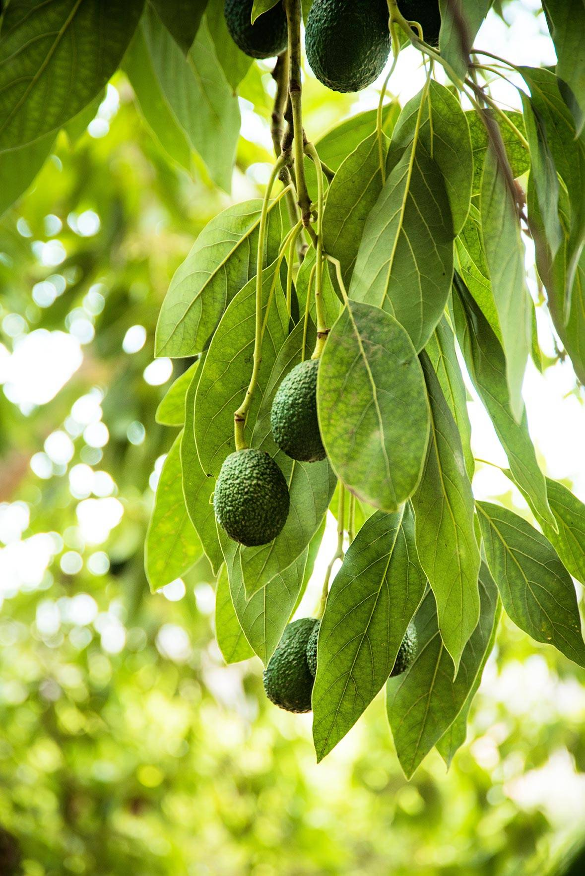 Avocado Boom Grower Resources Del Rey Avocado