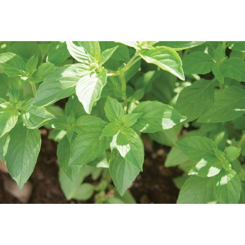 Medium Crop Of Is Basil A Perennial