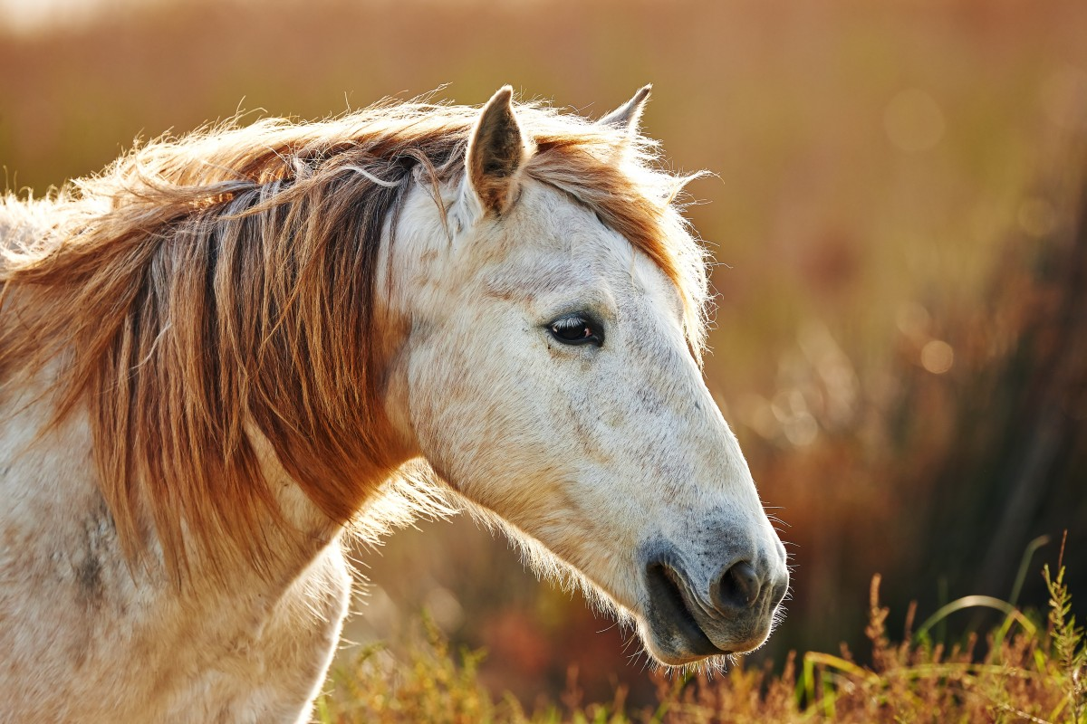 Portrait of a white horse of Camargue in backlight