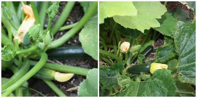 garden cleanup zucchini