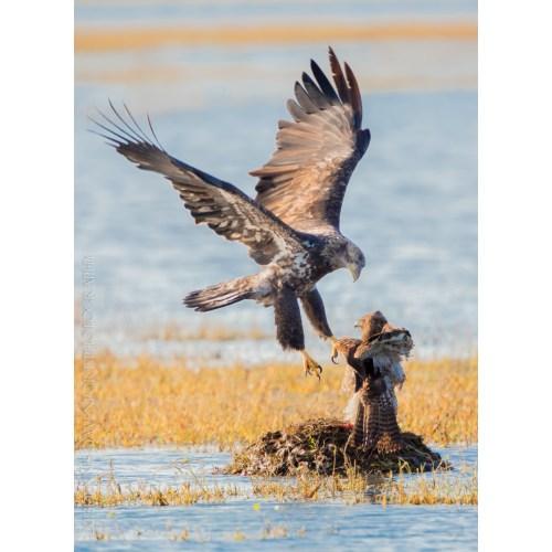 Medium Crop Of Hawk Vs Eagle