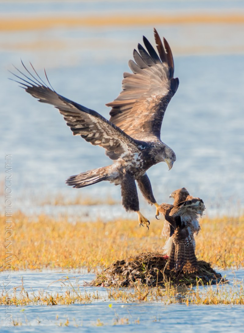 Large Of Hawk Vs Eagle