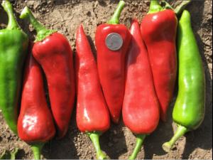 Red Mosco Chile Peppers