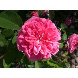 Small Crop Of High Country Roses