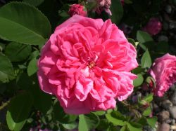 Small Of High Country Roses
