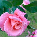 Regen-Rose