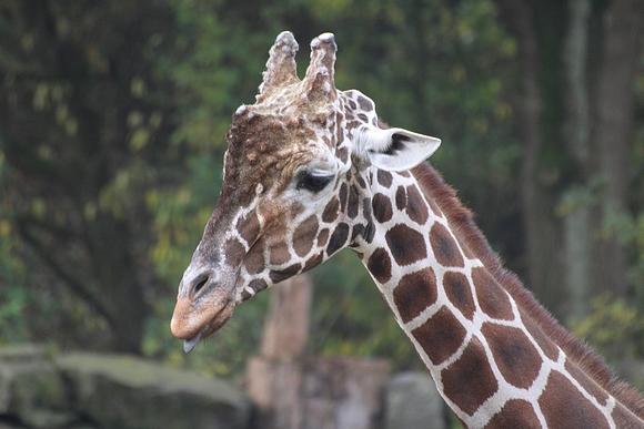 02_Zoo OS Giraffenbulle Edgar C
