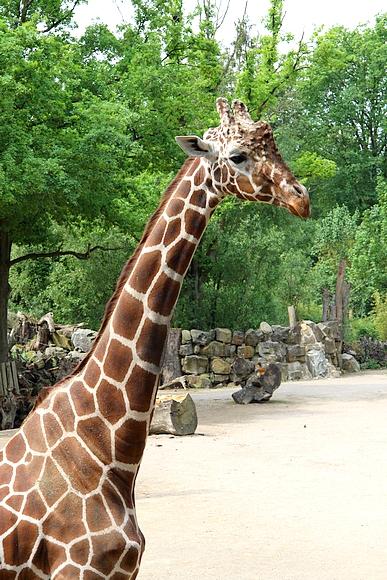 05_Giraffenbulle-Edgar16102013E