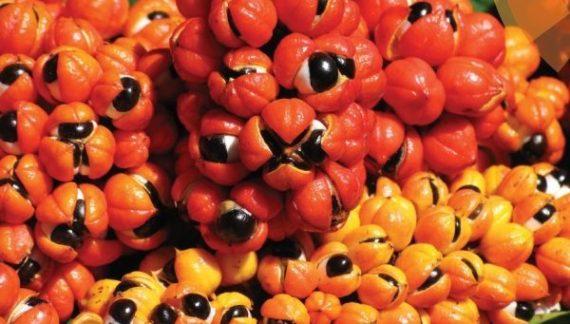 Estudo constata: guaraná tem potencial antioxidante maior do que chá verde