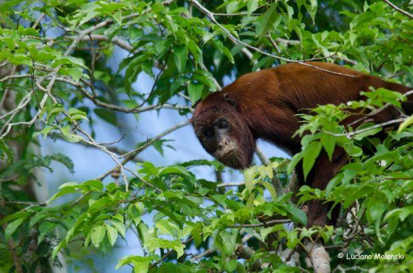 Comunidade científica alerta para mortandade de macacos por causa da febre amarela