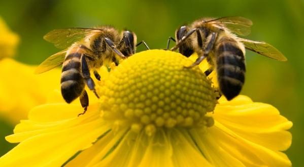 Tipo de pesticida comum reduz as chances de uma abelha rainha começar uma nova colônia