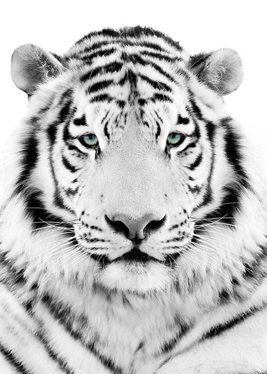 Matte Black Wallpaper White Tiger Poster