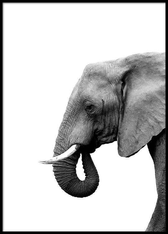 Cuadro Elefante Elephant From Side Poster